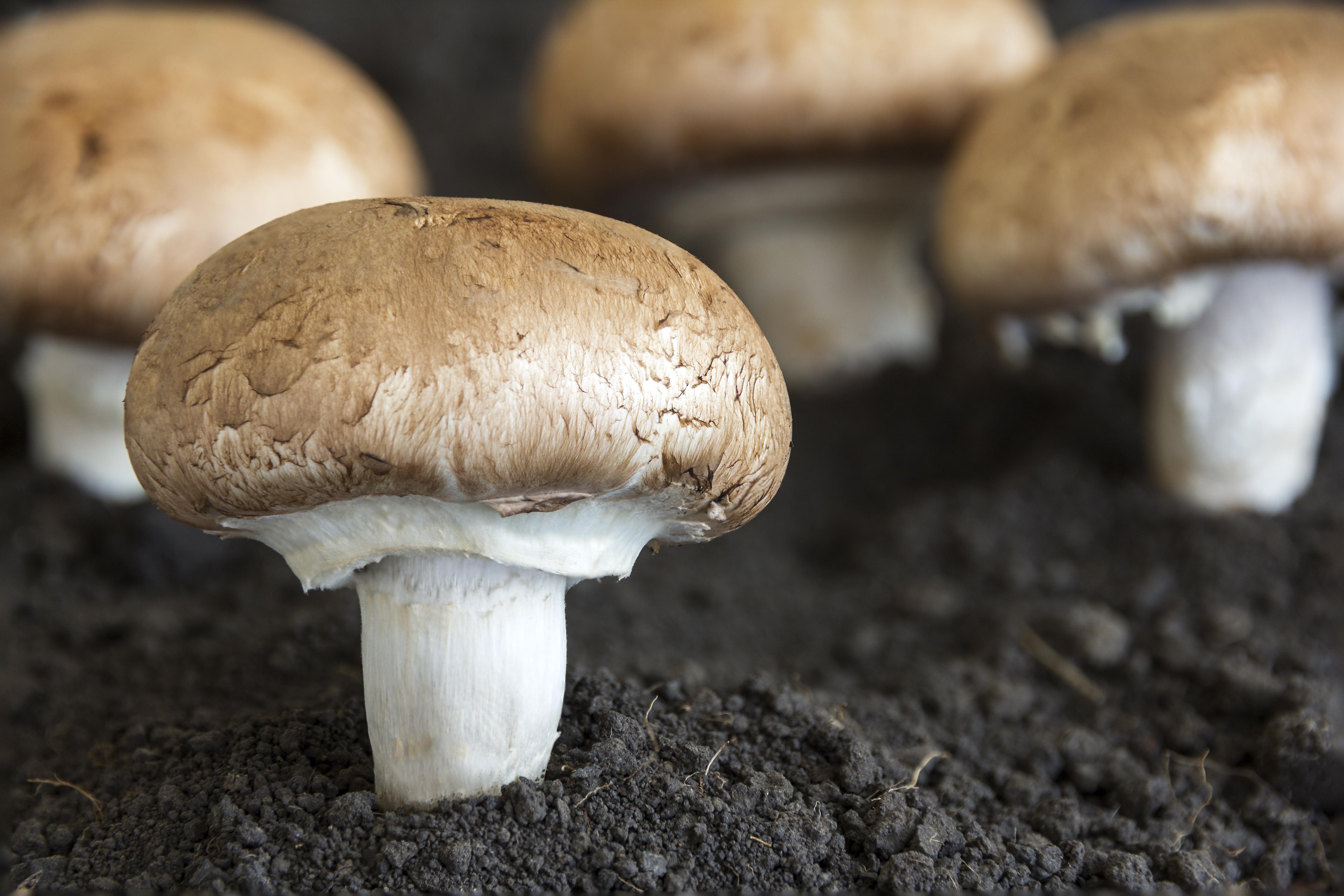 champignons-shutterstock_205365838
